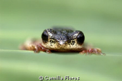 Tree frog by Camilla Floros